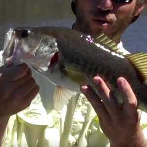 Spinnerbait Bass in Halls Mill Creek
